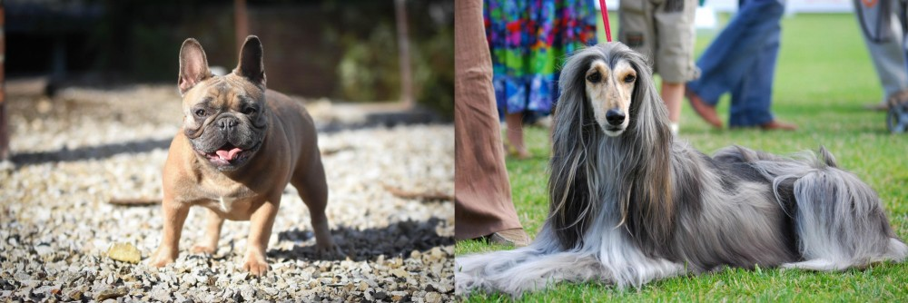 Afghan Hound vs French Bulldog