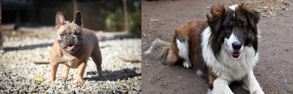 Aidi vs French Bulldog