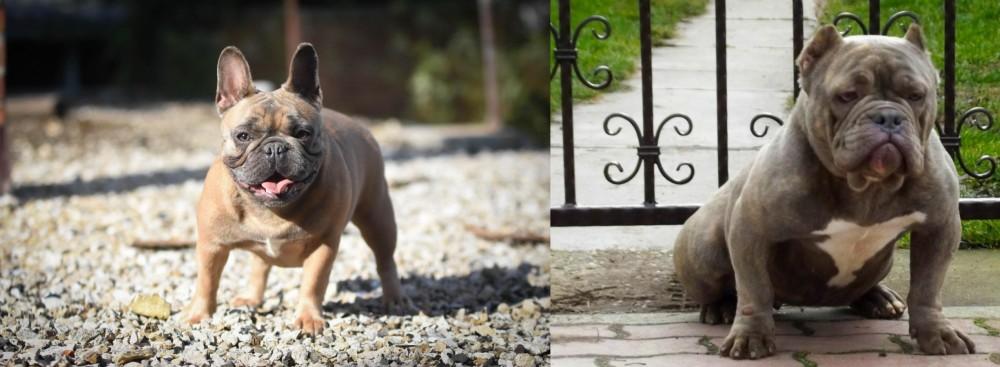 American Bully vs French Bulldog