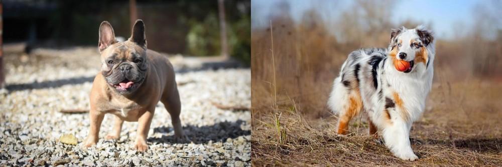 Australian Shepherd vs French Bulldog