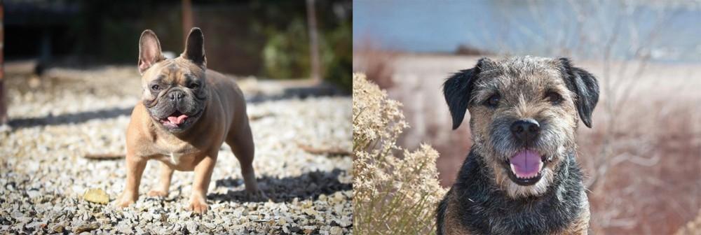 Border Terrier vs French Bulldog
