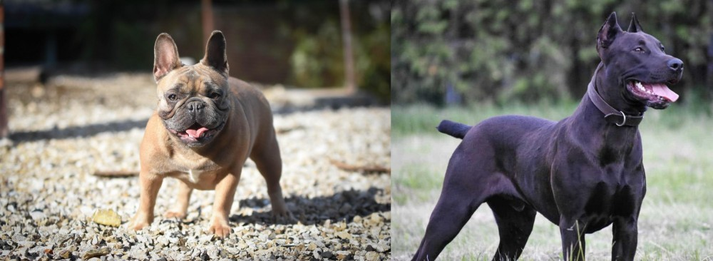 Canis Panther vs French Bulldog
