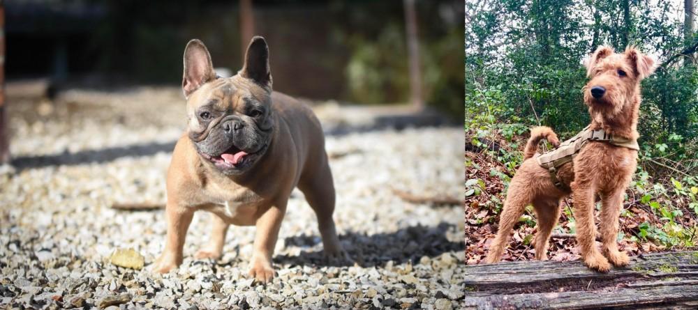 Irish Terrier vs French Bulldog