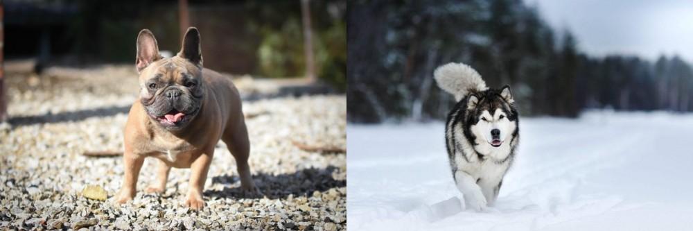 Siberian Husky vs French Bulldog