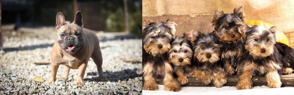 Yorkshire Terrier vs French Bulldog