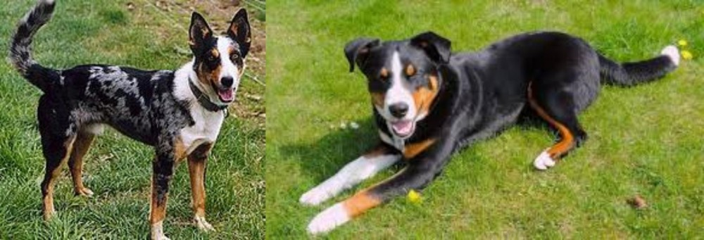 German Coolie vs Appenzell Mountain Dog