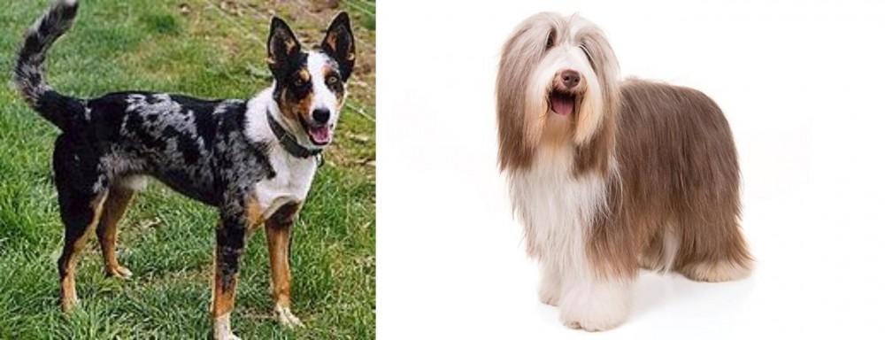 German Coolie vs Bearded Collie