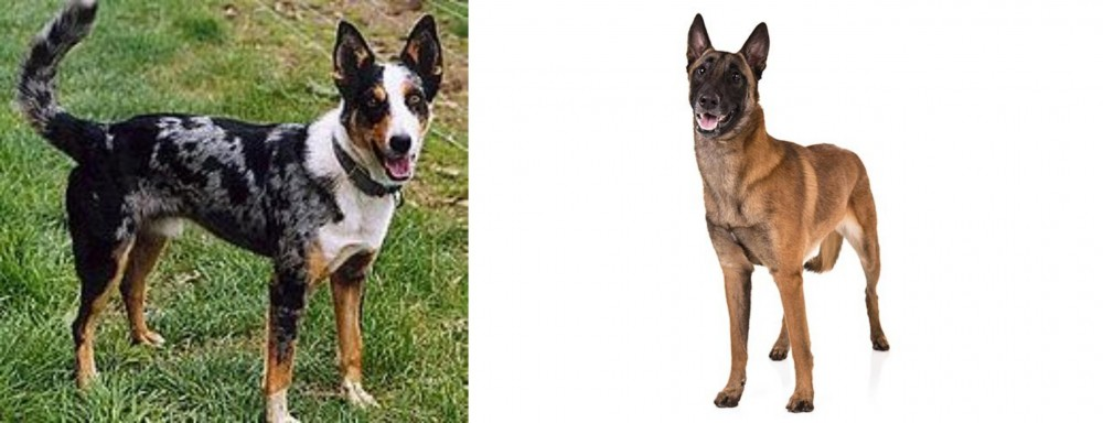 German Coolie vs Belgian Shepherd Dog (Malinois)