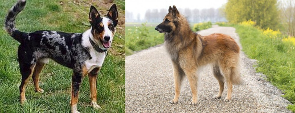 German Coolie vs Belgian Shepherd Dog (Tervuren)