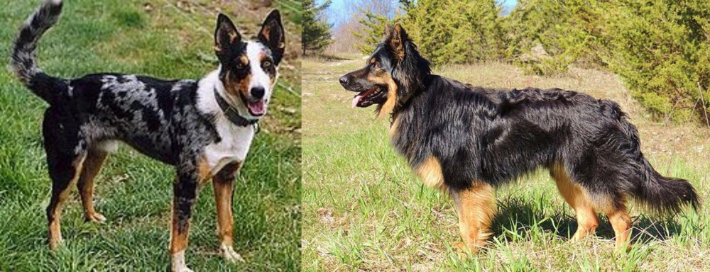 German Coolie vs Bohemian Shepherd
