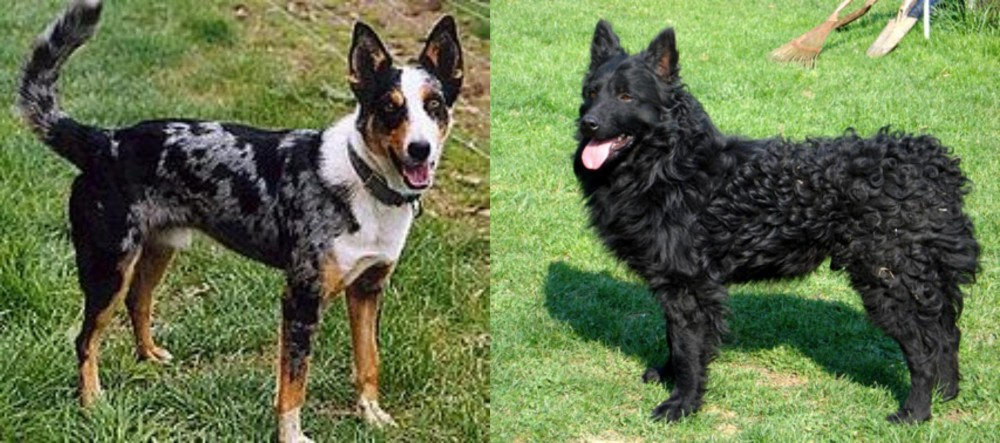 German Coolie vs Croatian Sheepdog