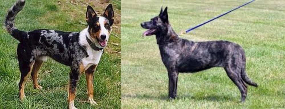 German Coolie vs Dutch Shepherd