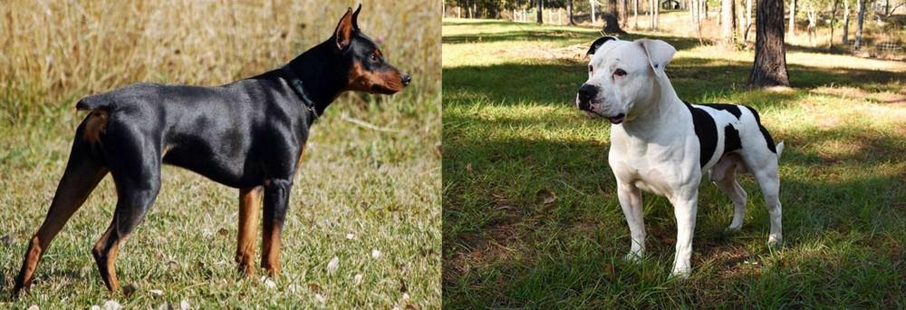 German Pinscher vs American Bulldog