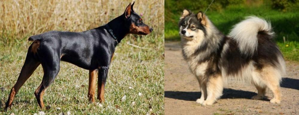 German Pinscher vs Finnish Lapphund