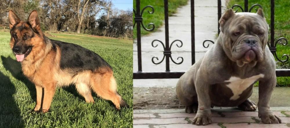 American Bully vs German Shepherd
