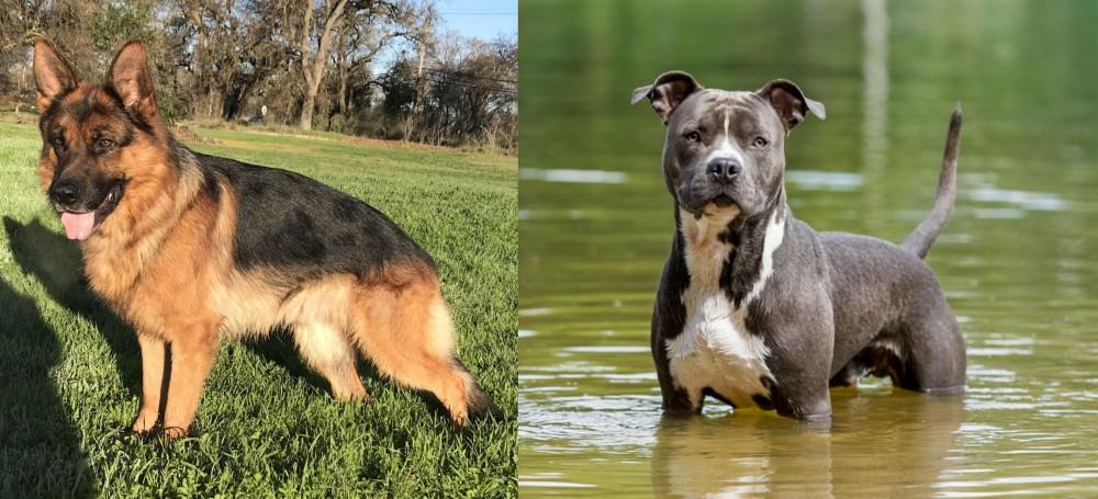 American Staffordshire Terrier vs German Shepherd