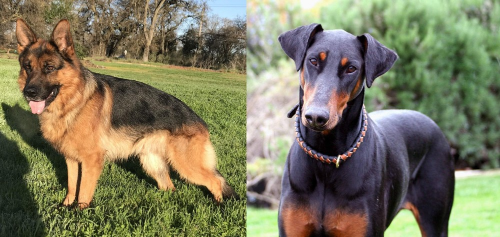 Doberman Pinscher vs German Shepherd