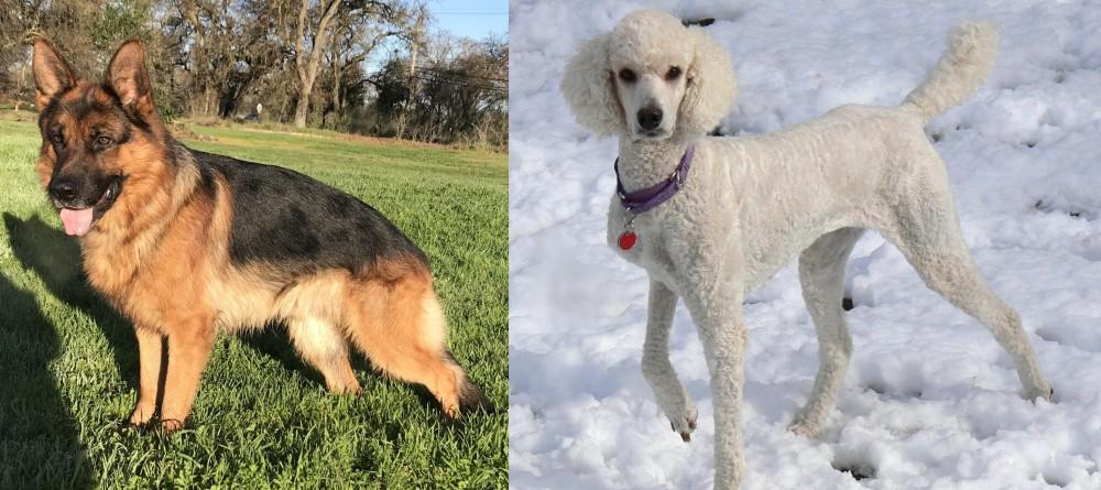 Poodle vs German Shepherd