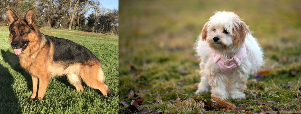 West Highland White Terrier vs German Shepherd
