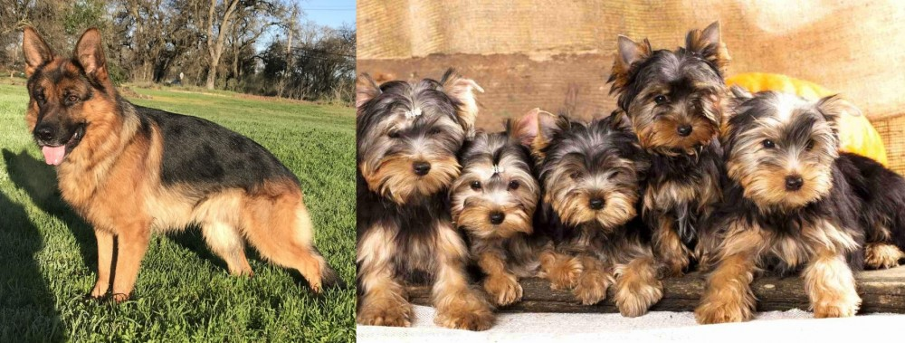 Yorkshire Terrier vs German Shepherd