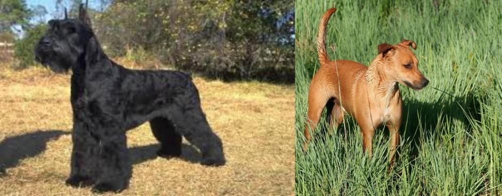 Giant Schnauzer vs Africanis