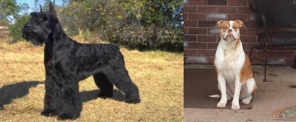 Giant Schnauzer vs Alapaha Blue Blood Bulldog
