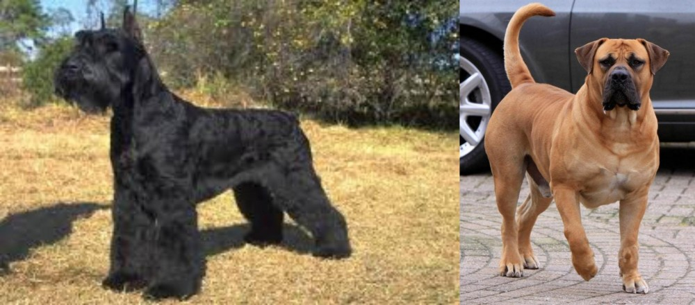 Giant Schnauzer vs Boerboel