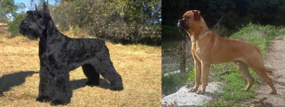 Giant Schnauzer vs Bullmastiff