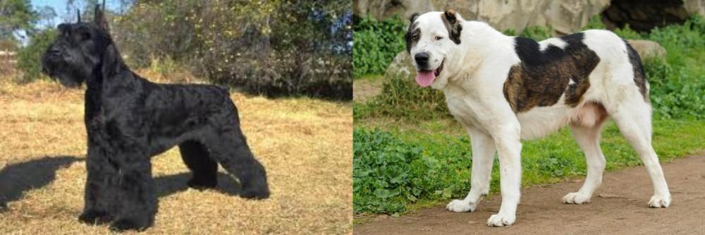 Giant Schnauzer vs Central Asian Shepherd