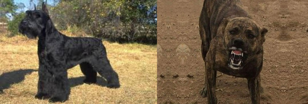 Giant Schnauzer vs Dogo Sardesco