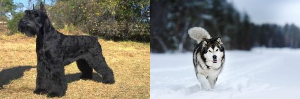 Giant Schnauzer vs Siberian Husky