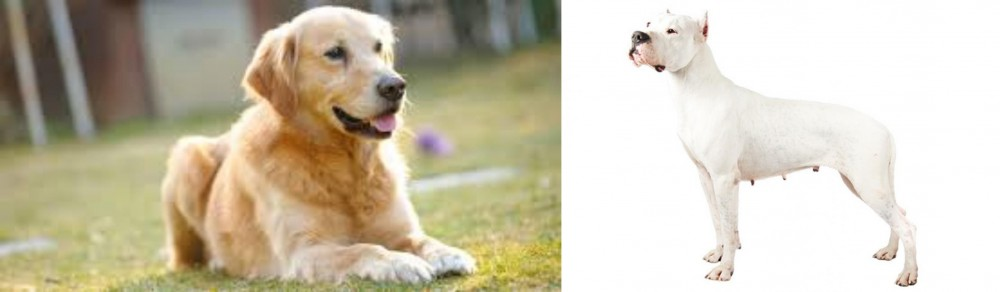Goldador vs Argentine Dogo