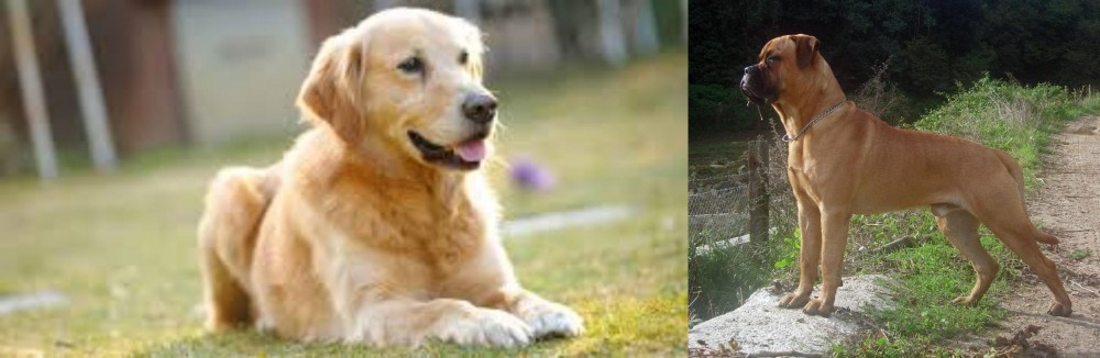 Goldador vs Bullmastiff