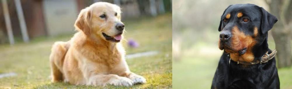 Goldador vs Rottweiler