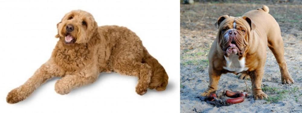 Golden Doodle vs Australian Bulldog