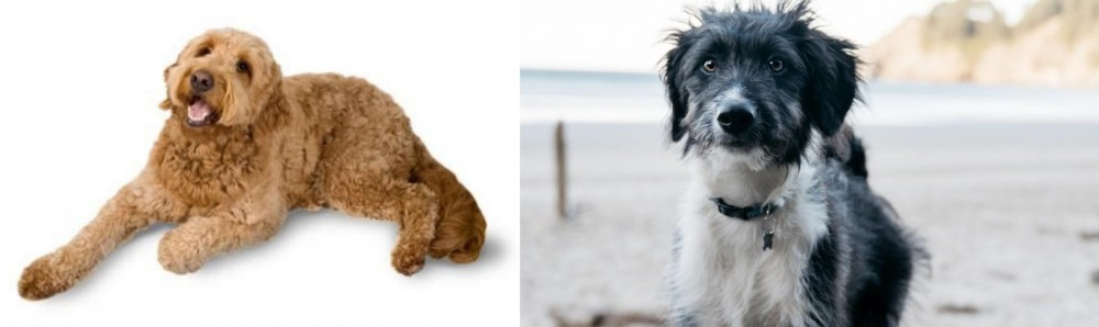 Golden Doodle vs Bordoodle