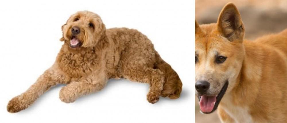 Golden Doodle vs Dingo