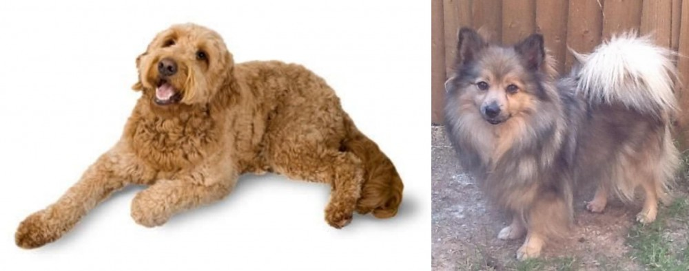 Golden Doodle vs German Spitz (Mittel)