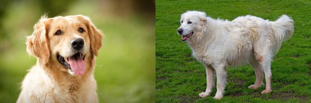 Abruzzenhund vs Golden Retriever