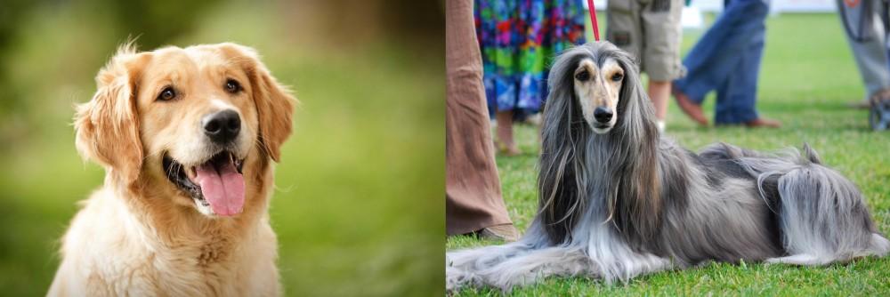 Afghan Hound vs Golden Retriever