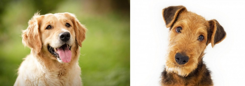 Airedale Terrier vs Golden Retriever