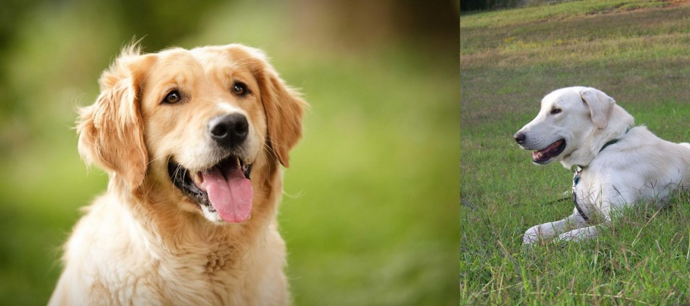 Akbash Dog vs Golden Retriever