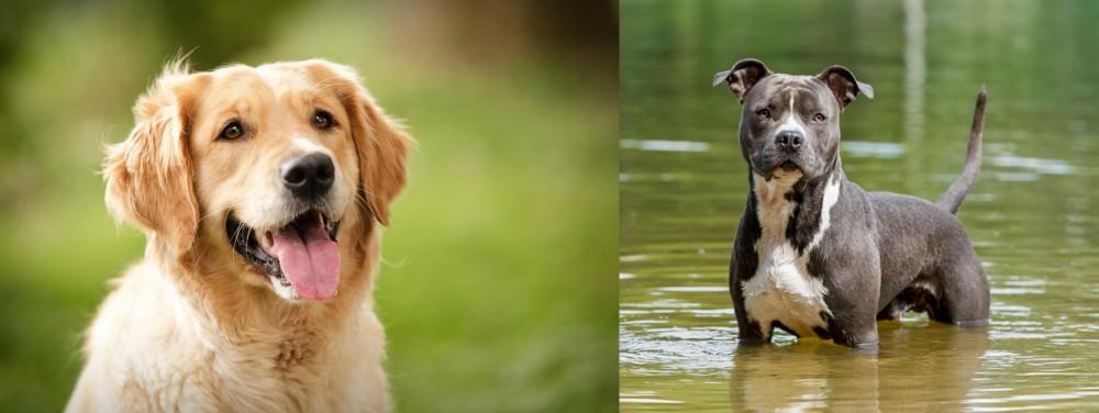 American Staffordshire Terrier vs Golden Retriever