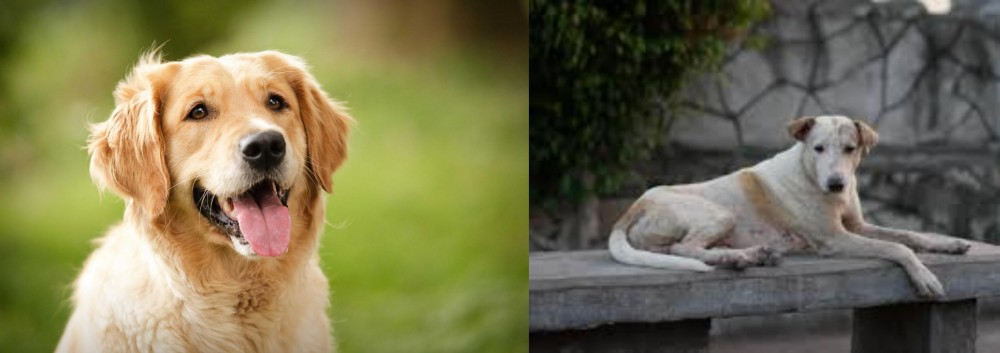 Askal vs Golden Retriever