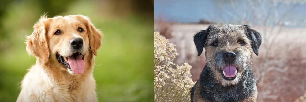 Border Terrier vs Golden Retriever