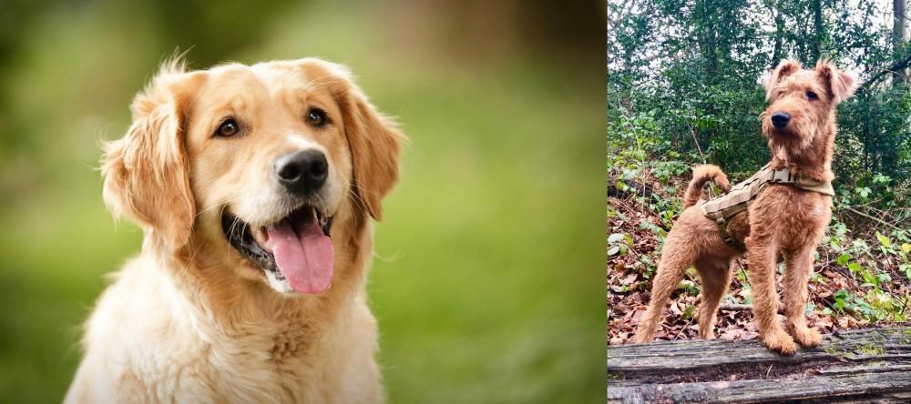 Irish Terrier vs Golden Retriever