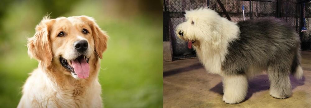 Old English Sheepdog vs Golden Retriever