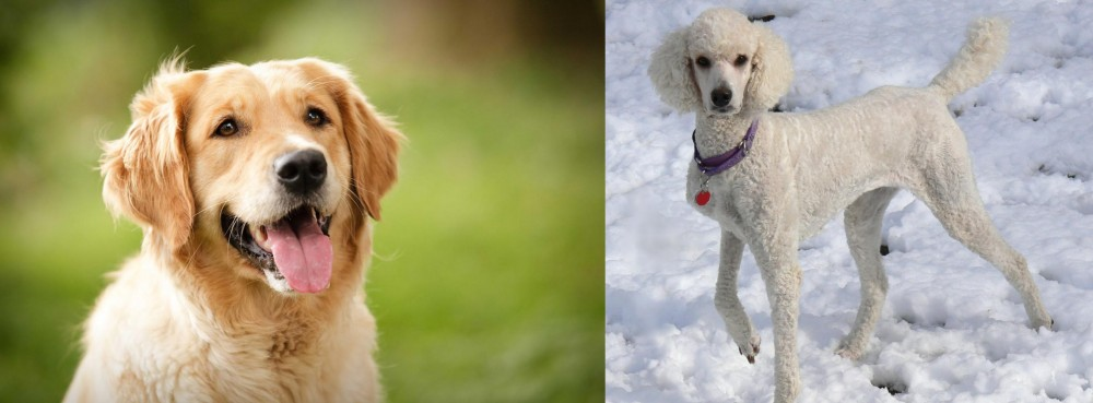 Poodle vs Golden Retriever