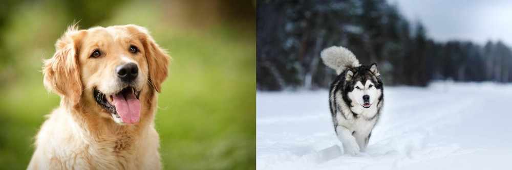Siberian Husky vs Golden Retriever