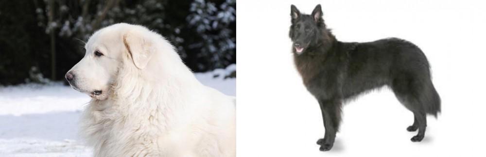 Great Pyrenees vs Belgian Shepherd